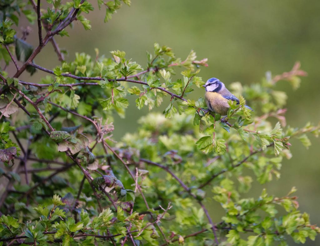 Bluetit on a whitethorn
