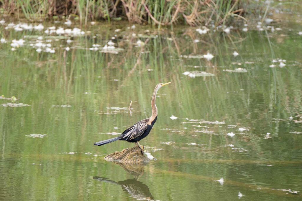 Oriental darter at Chitwan national park