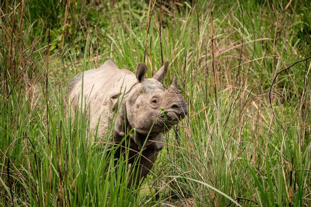 Lone Rhinoceros at Chitwan national park, Nepal