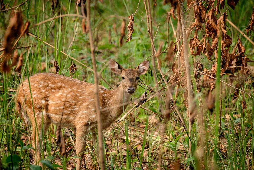 Spotted deer at Chitwan national park, Nepal