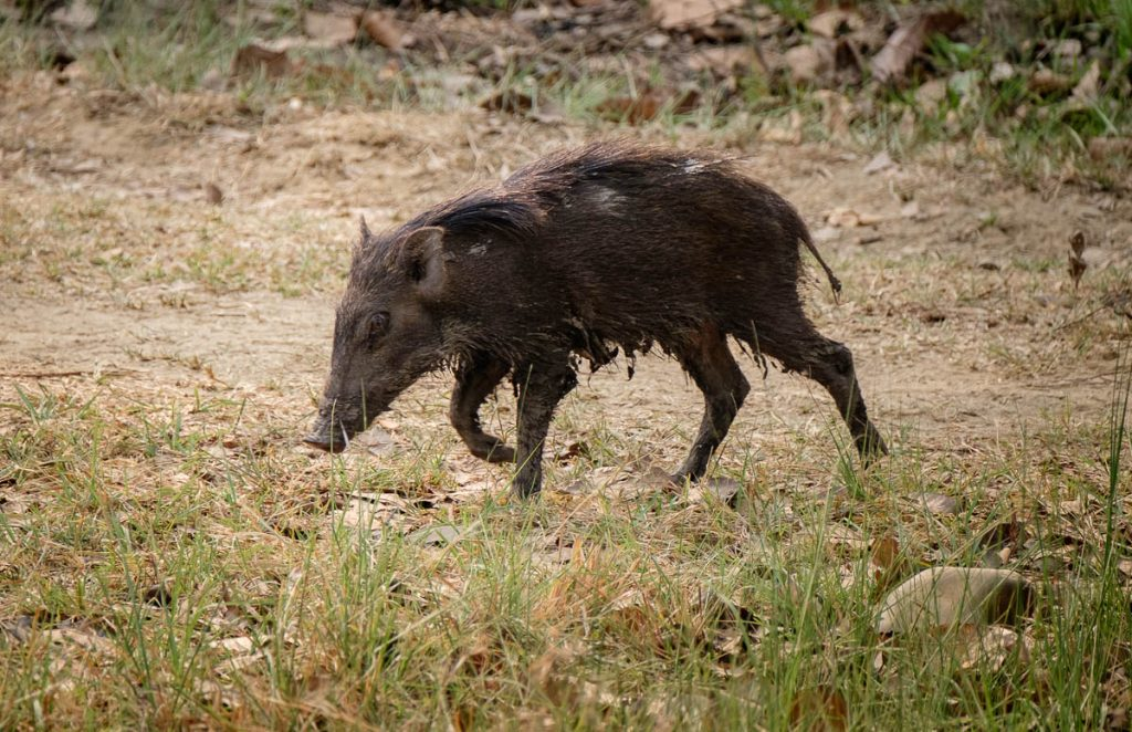 Young boar at Chitwan national park, Nepal