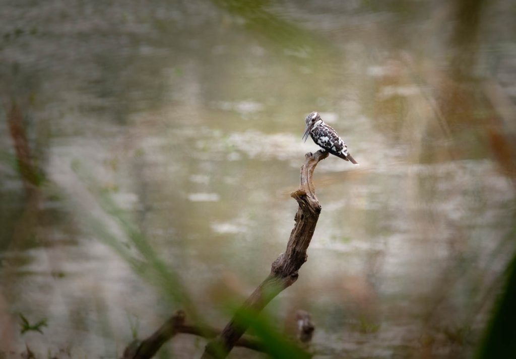 Pied kingfisher at Chitwan national park, Nepal