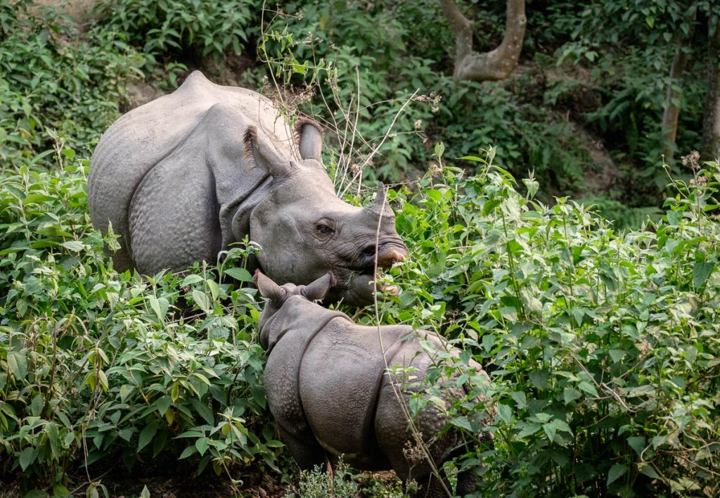 Female rhinoceros with young at Chitwan national park, Nepal