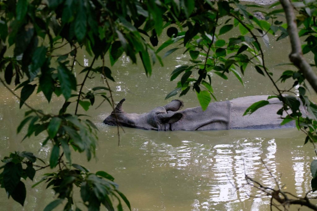 Lone rhinoceros swimming at Chitwan national park, Nepal