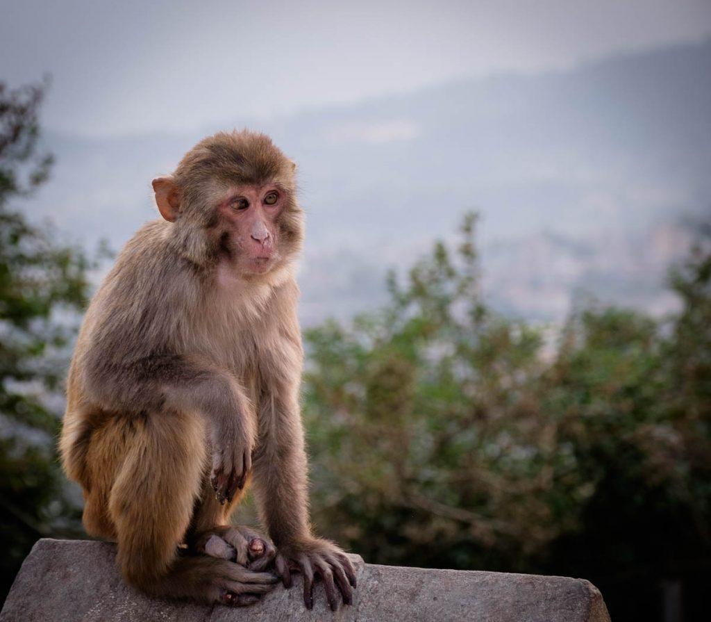 Rhesus macaque at  monkey temple, Kathmandu