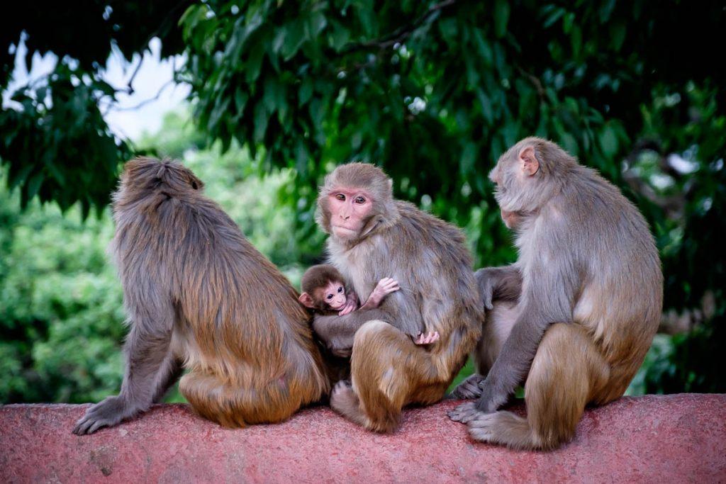 Rhesus macaque family at  monkey temple, Kathmandu