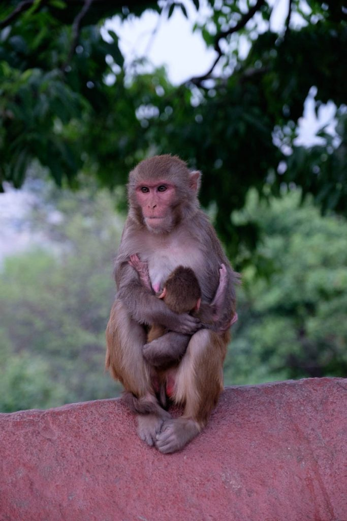 Rhesus macaque mother and child at  monkey temple, Kathmandu