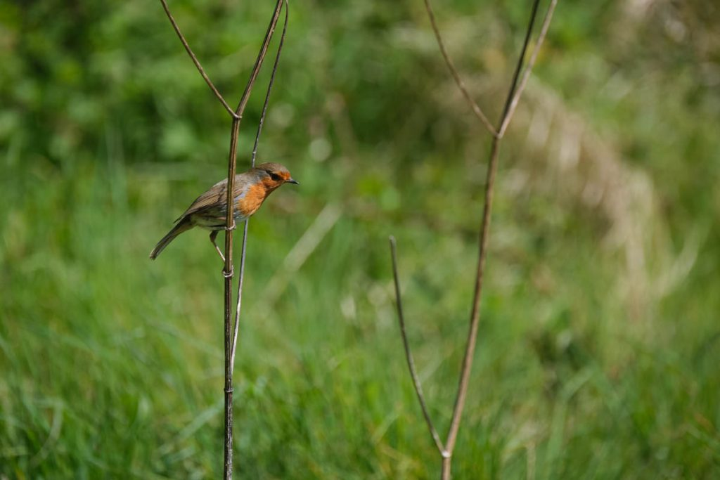 Robin perching on a twig