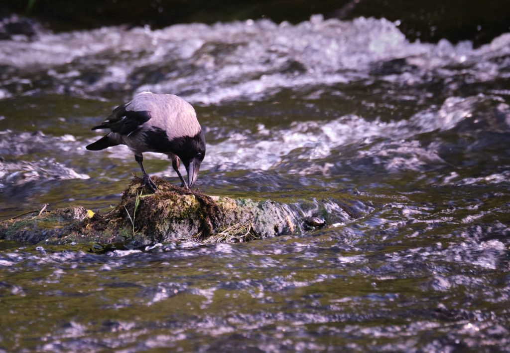 Hooded crow on a rock in a river