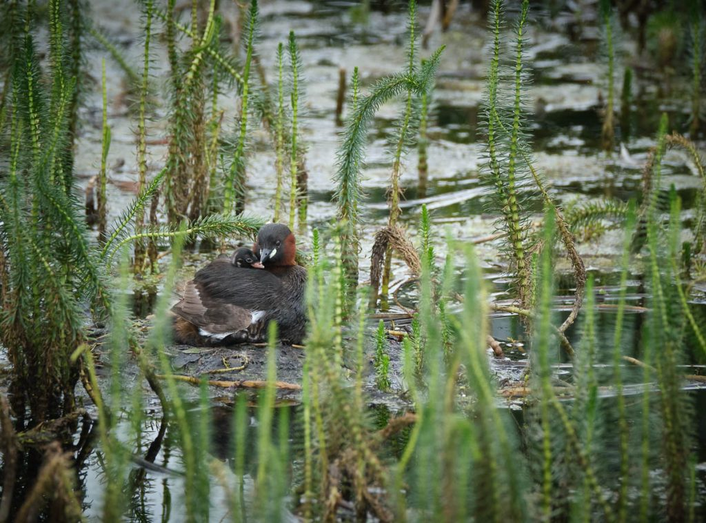 Little grebe and chick 1.jpg