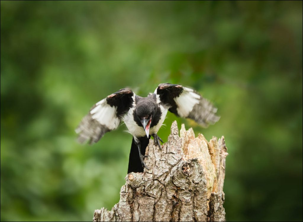 Magpie displaying on a tree stump