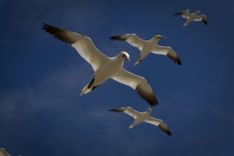 Gannets against a blue sky