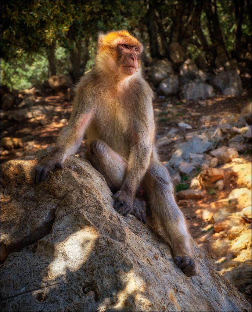 berbery macaque