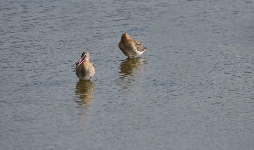 black tailed godwit couple