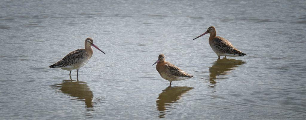 black tailed godwit group