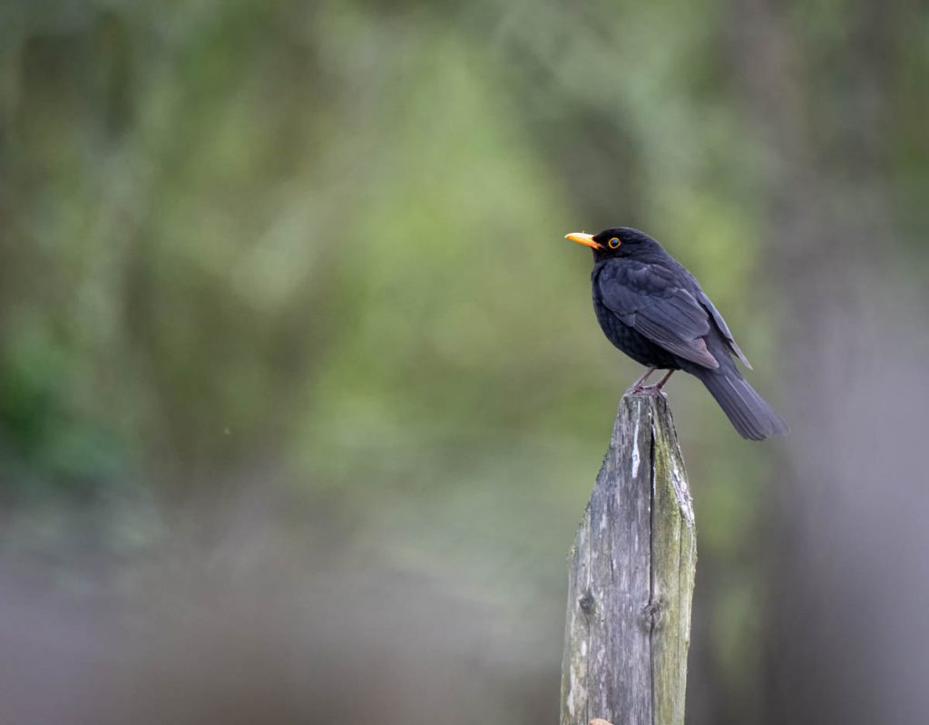 blackbird on a post