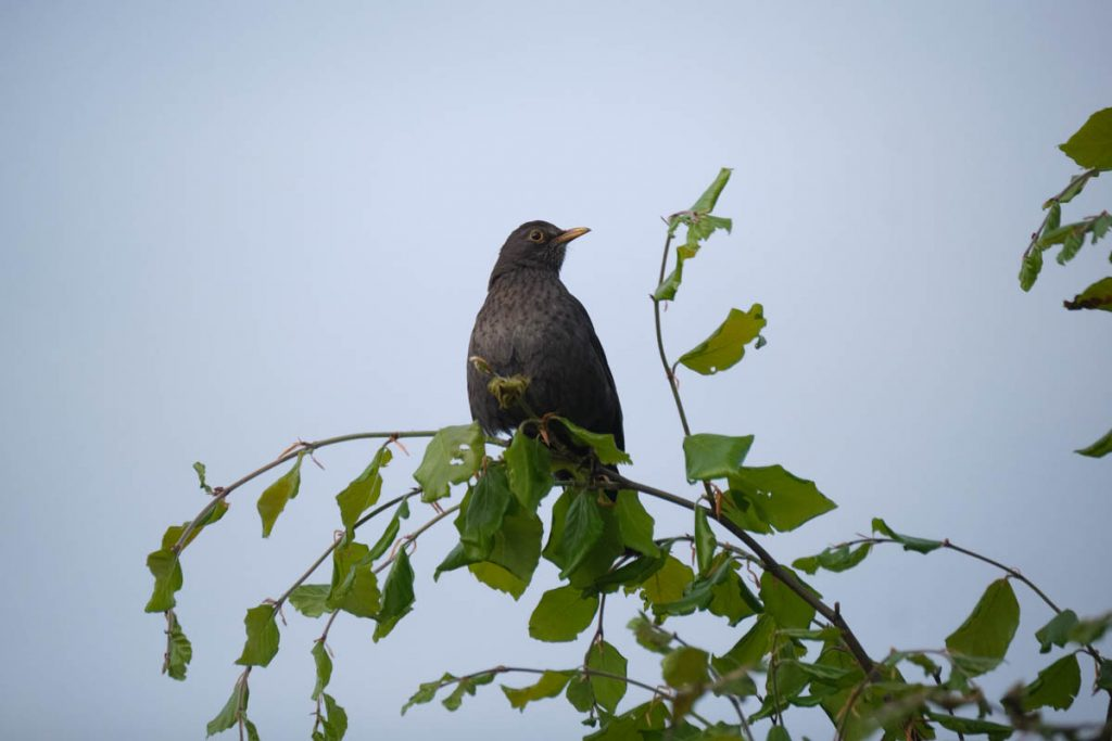 blackbird on lookout