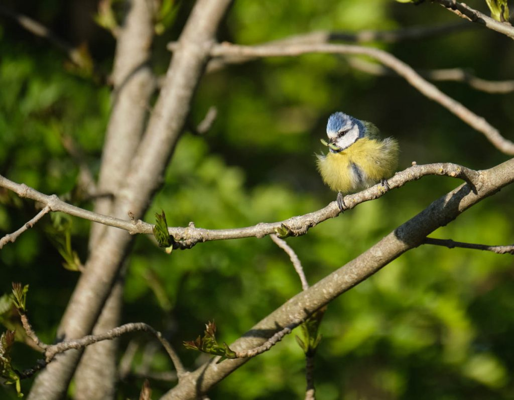 blue tit all puffed up with a green insect