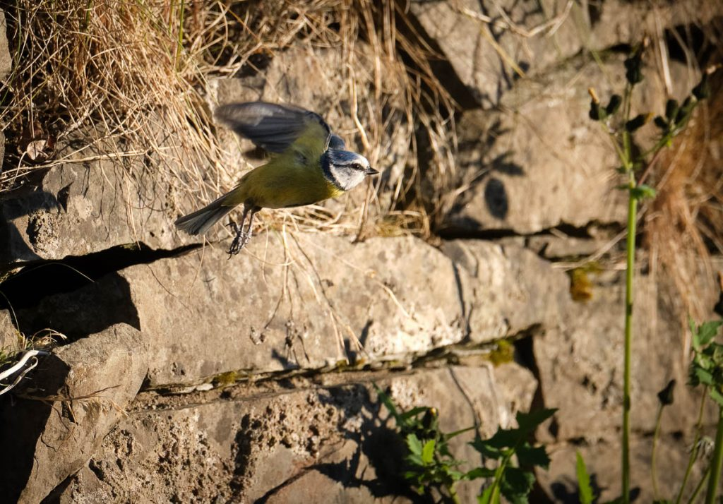 blue tit in flight.jpg