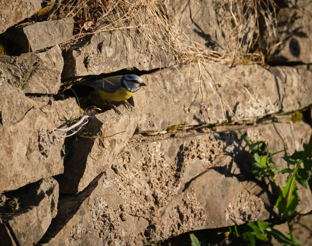 blue tit on a ledge
