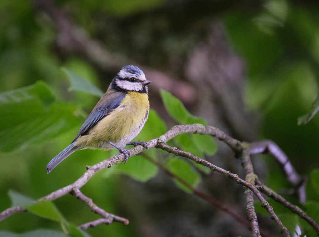 blue tit on watch