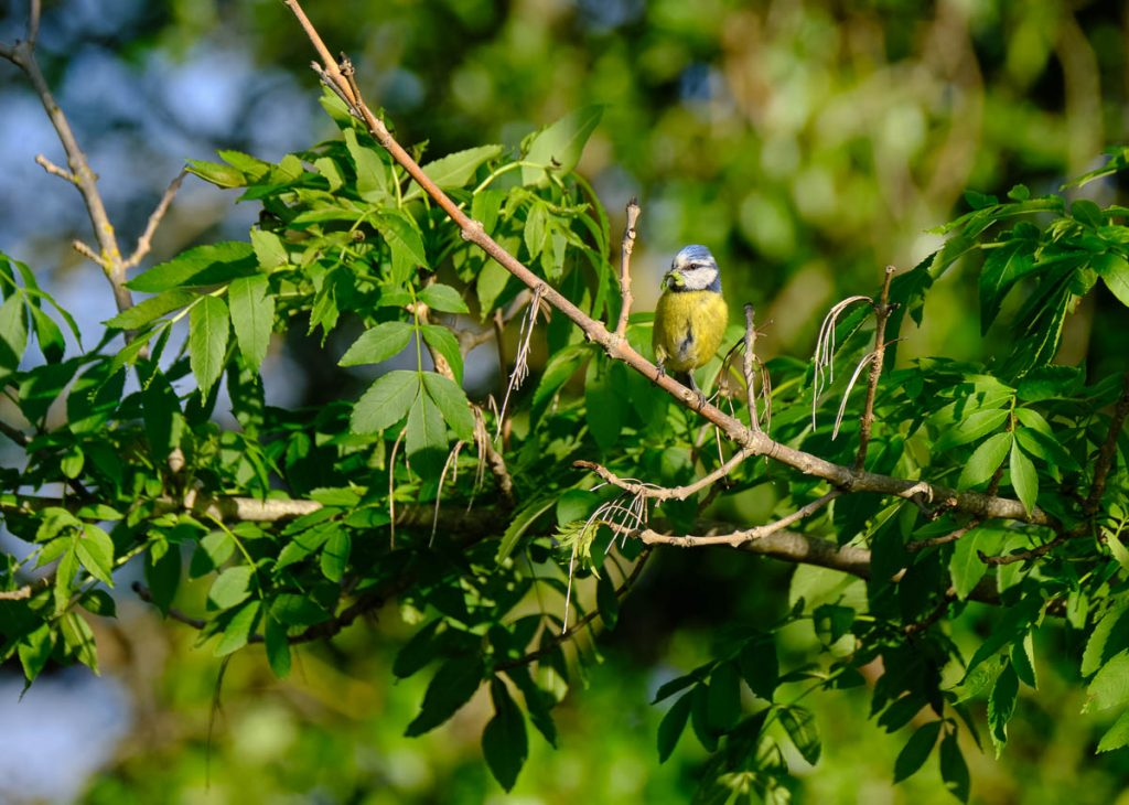 bluetit with grub.jpg