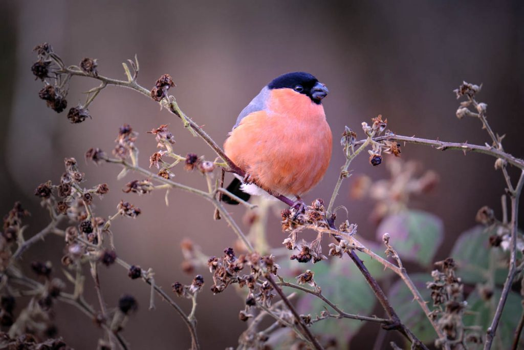 Bullfinch on brambles