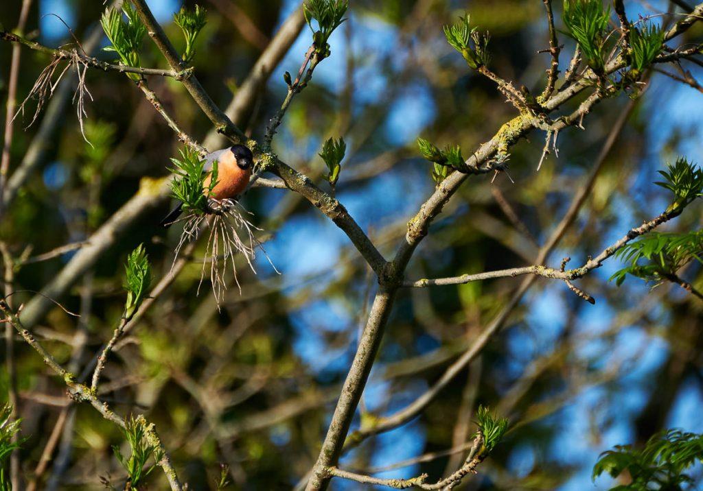 bullfinch peering.jpg