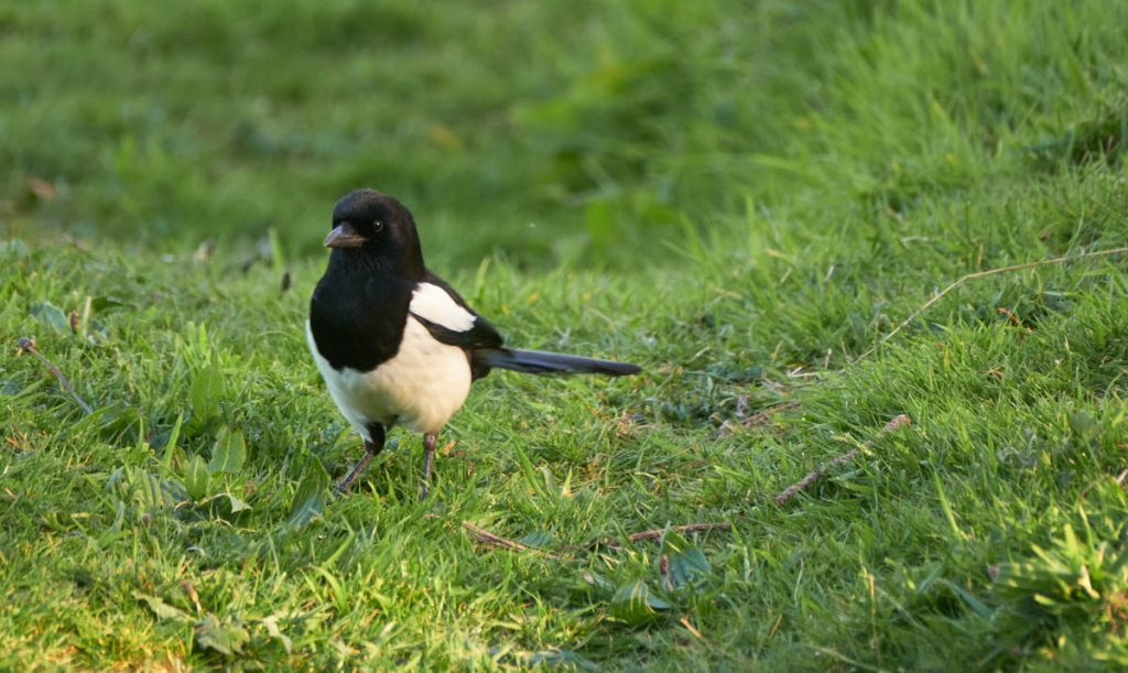 castletown magpie on grass
