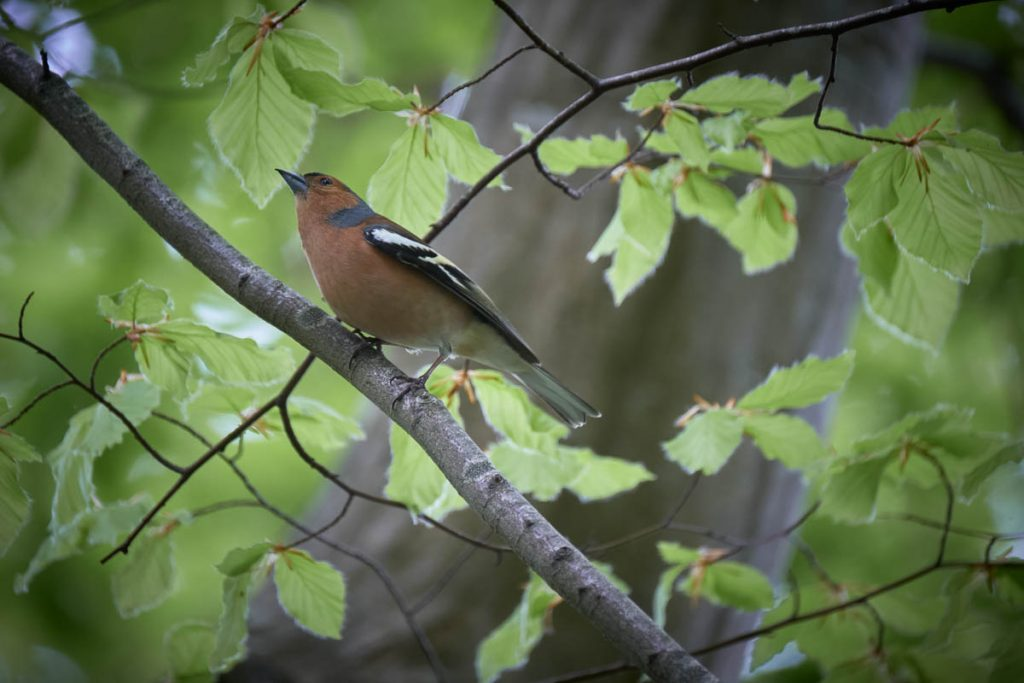chaffinch in a tree.jpg