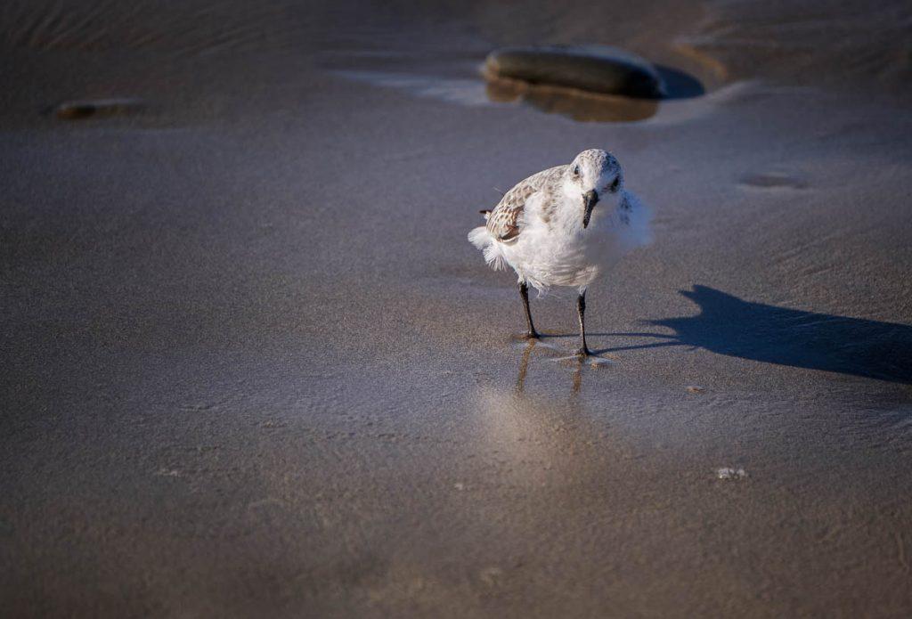cheeky sanderling