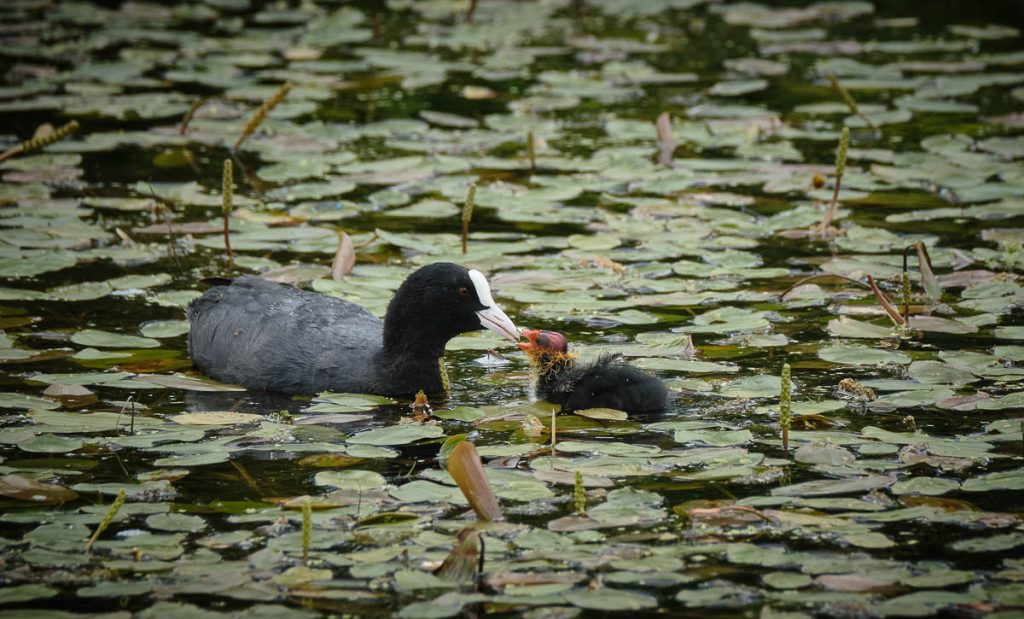 coot feeding chick.jpg
