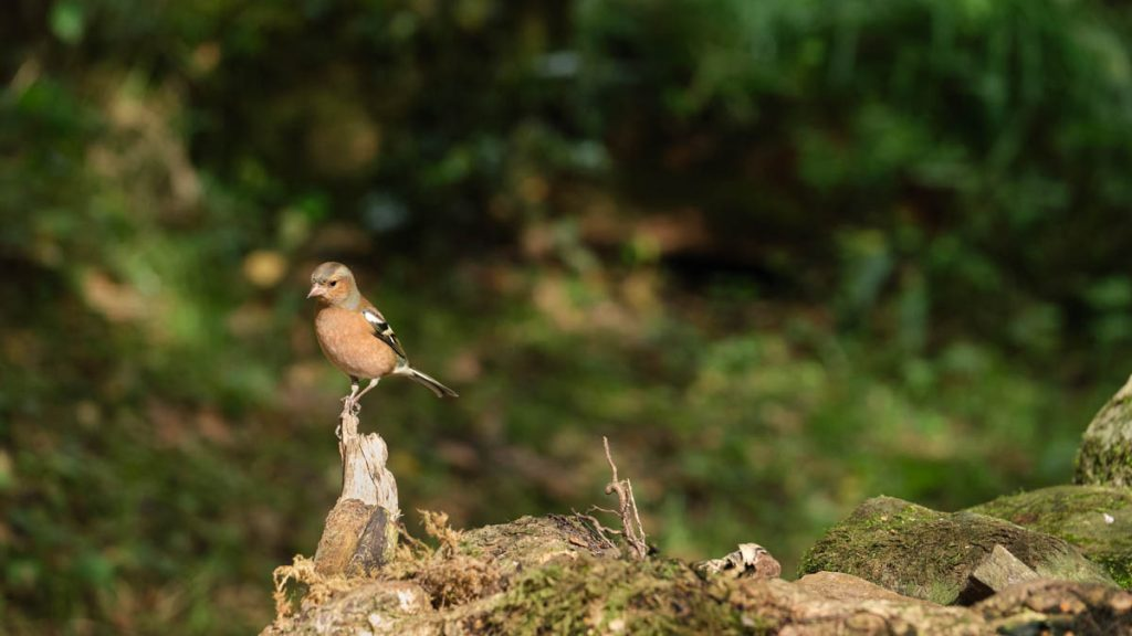 curious chaffinch