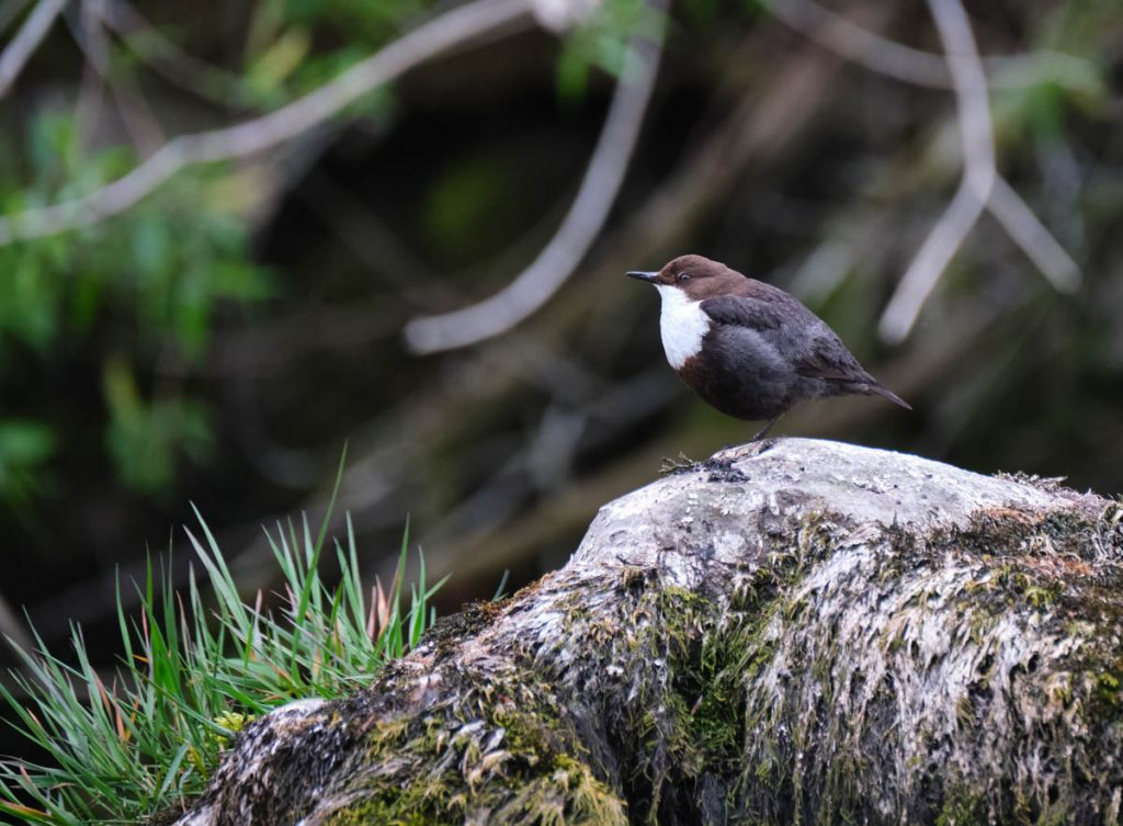 dipper on stone
