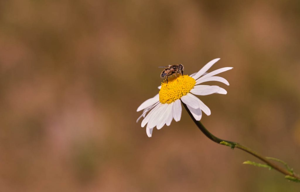 european drone fly on wild daisy