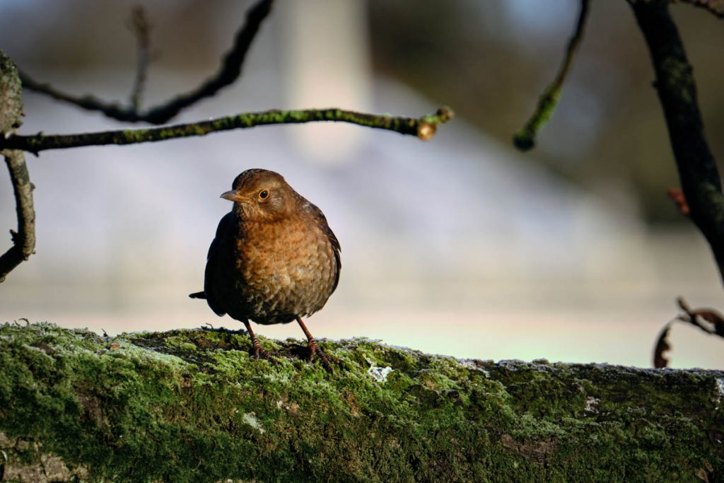 female blackbird on moss