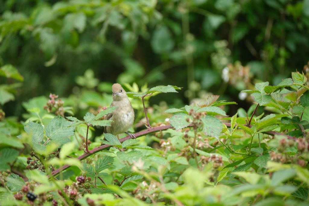 female blackcap in the brambles