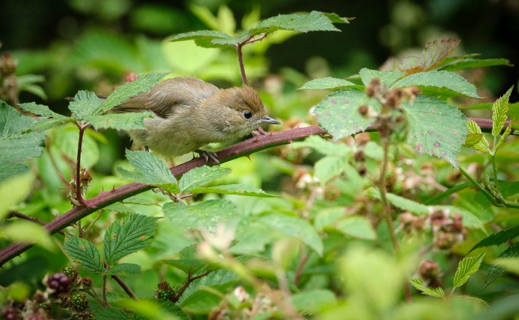 female blackcap 3.jpg