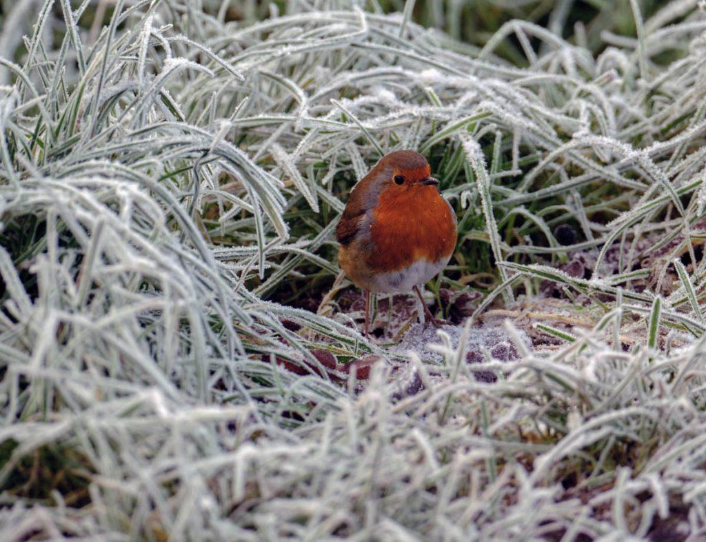 frozen robin