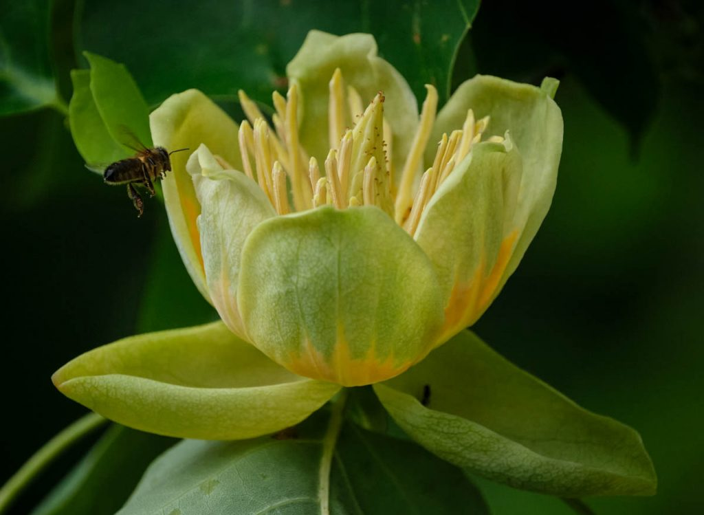 Wasp landing on the flower of a tulip tree