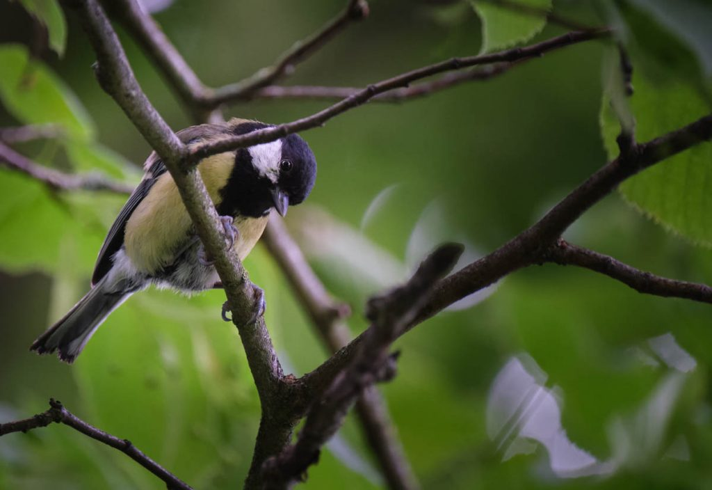 great tit at a glance