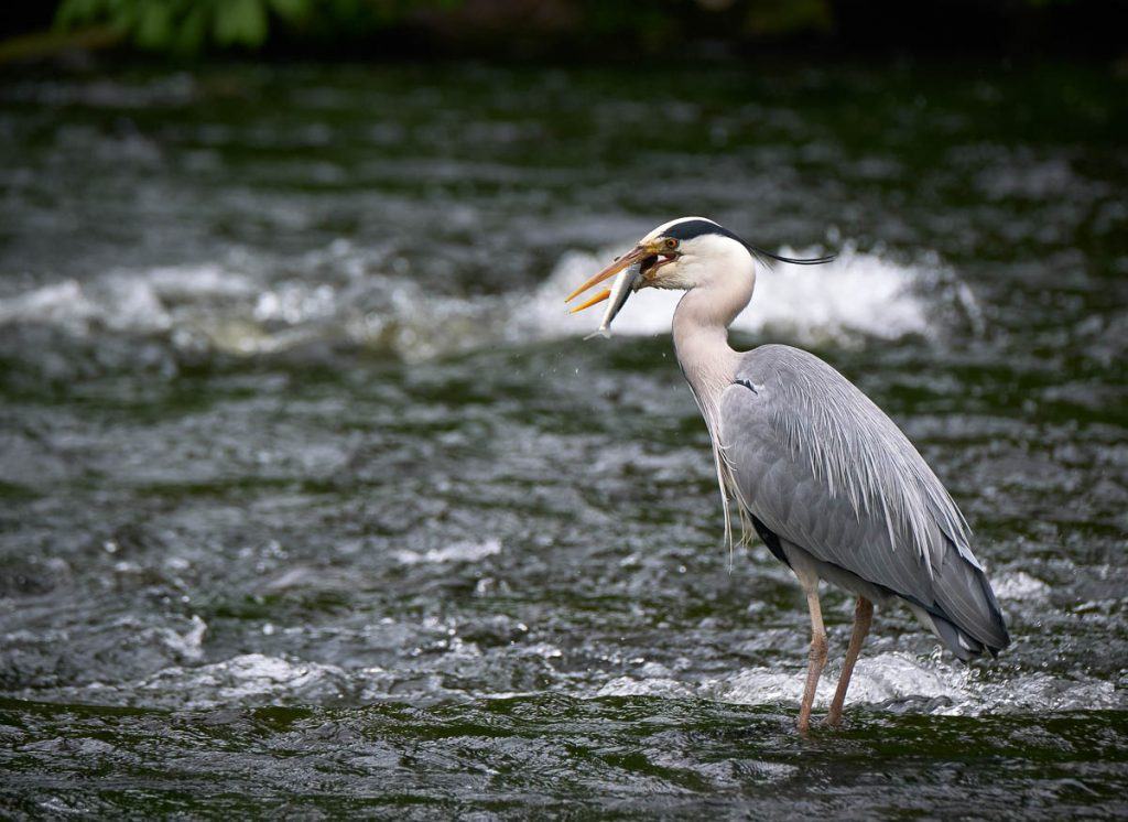 grey heron eating a trout.jpg