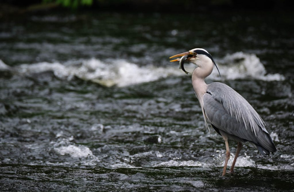 A grey heron standing in a river and eating a trout