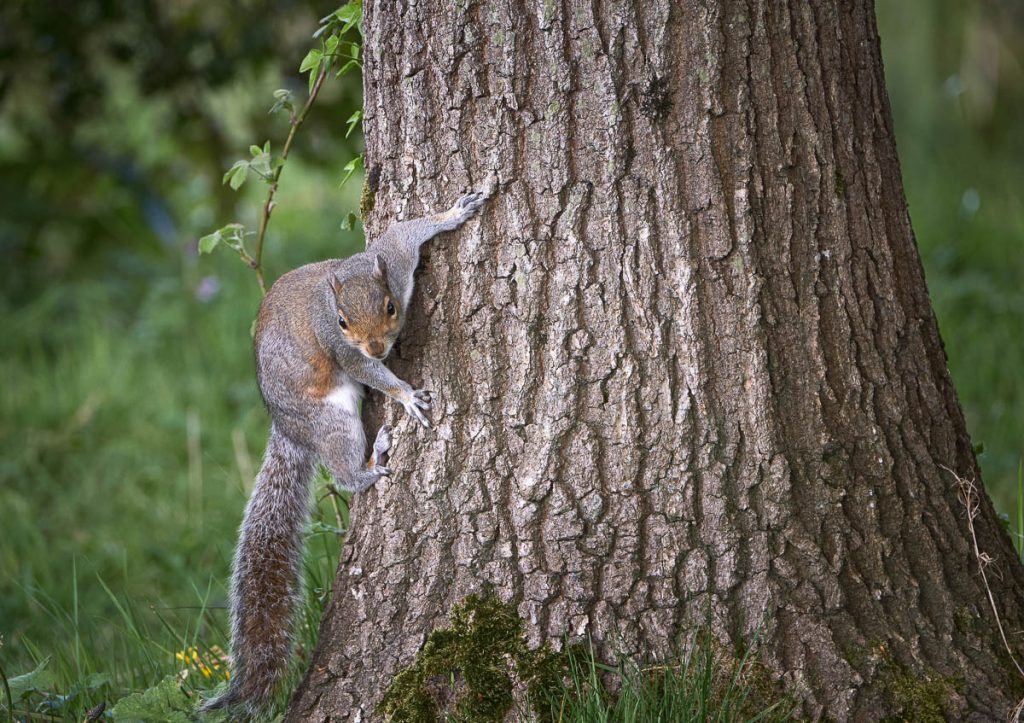 grey squirrel climbing.jpg