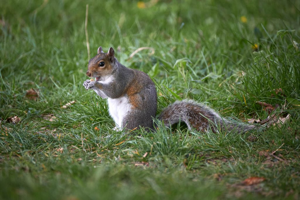 grey squirrel eating a nut.jpg