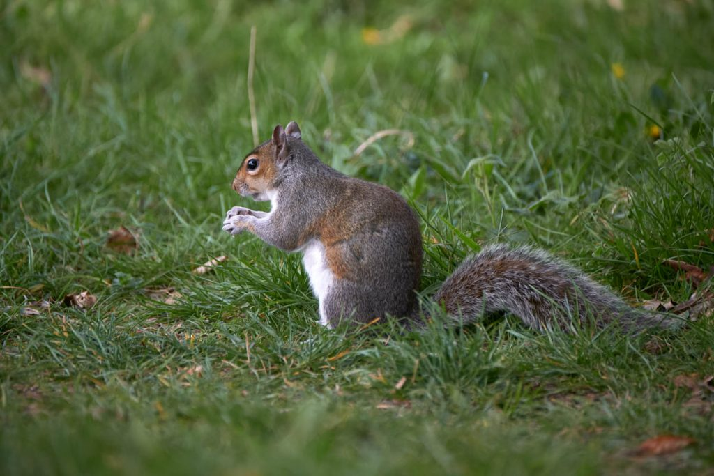 grey squirrel on a grass