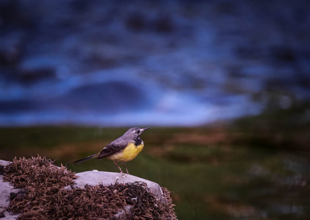 grey wagtail on a rock