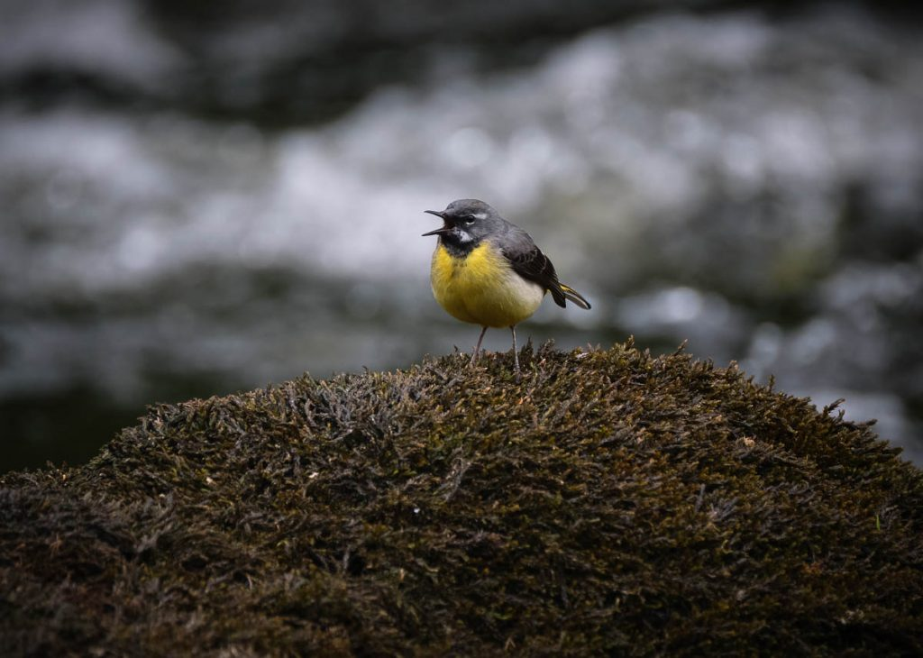 grey wagtail on moss.jpg