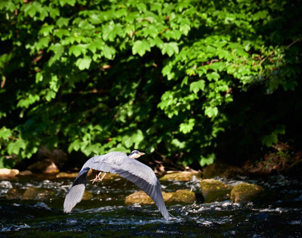 heron in flight downwings