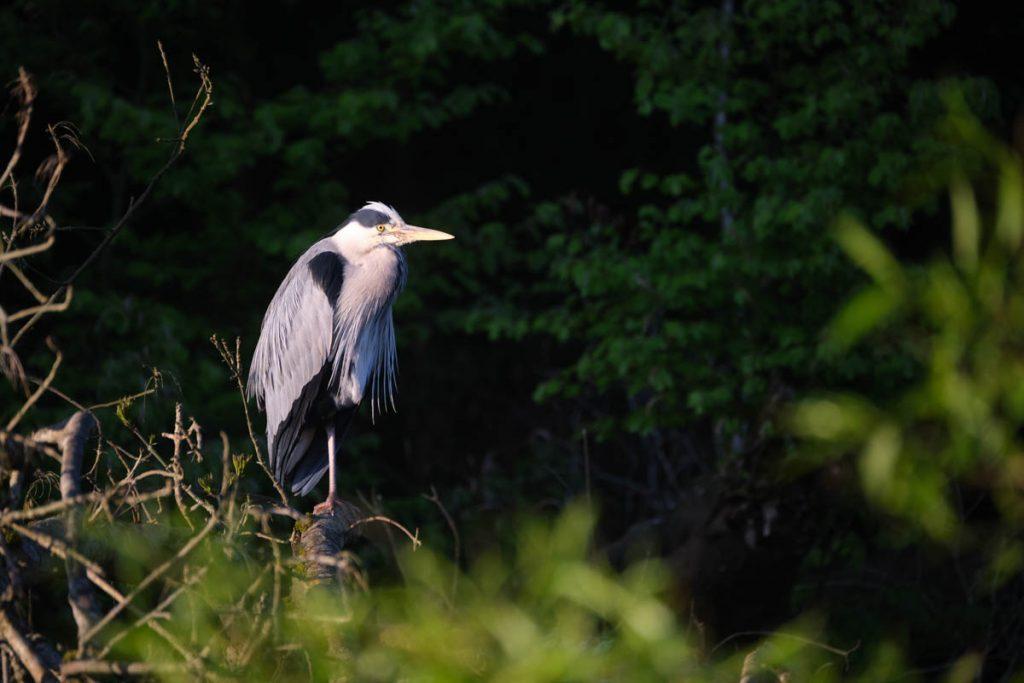 heron waiting